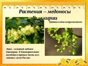 Растения – медоносы Башкирии Липа – основной медонос Башкирии. В Башкортостан