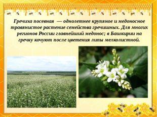 Гречиха посевная— однолетнее крупяное и медоносное травянистое растение сем