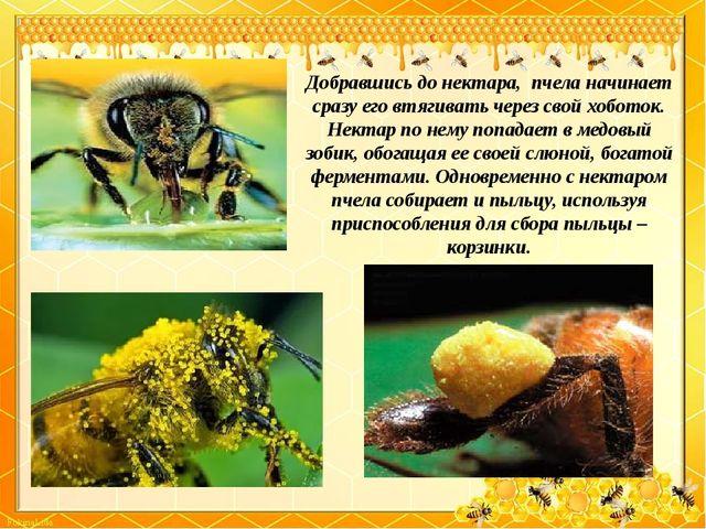 Добравшись до нектара, пчела начинает сразу его втягивать через свой хоботок...