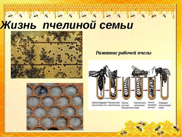 Жизнь пчелиной семьи Развитие рабочей пчелы
