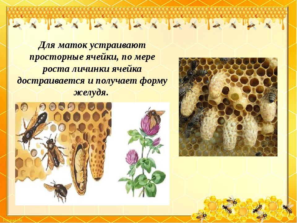 Для маток устраивают просторные ячейки, по мере роста личинки ячейка достраив...
