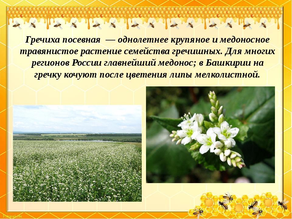 Гречиха посевная— однолетнее крупяное и медоносное травянистое растение сем...