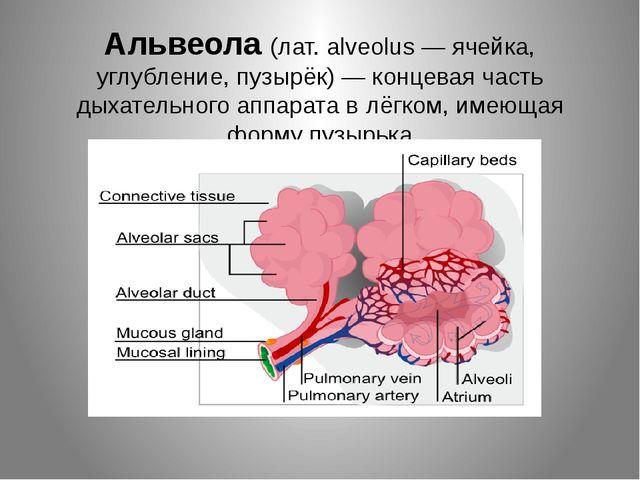 Альвеола (лат. alveolus — ячейка, углубление, пузырёк) — концеваячасть дыхат...