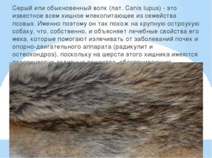 Серый или обыкновенный волк (лат. Canis lupus) - это известное всем хищное м