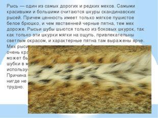 Рысь — один из самых дорогих и редких мехов. Самыми красивыми и большими счи