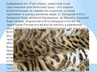 Камышовый кот (Felis chaus), известный и как тростниковая (или болотная) рыс