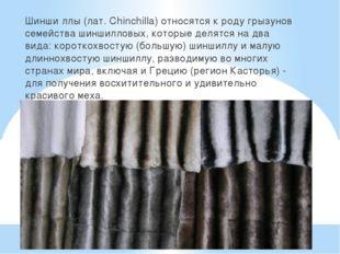 Шинши́ллы (лат. Chinchilla) относятся к роду грызунов семейства шиншилловых,
