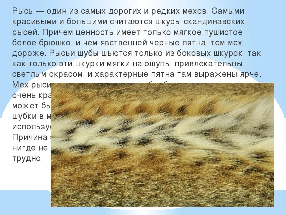 Рысь — один из самых дорогих и редких мехов. Самыми красивыми и большими счи...