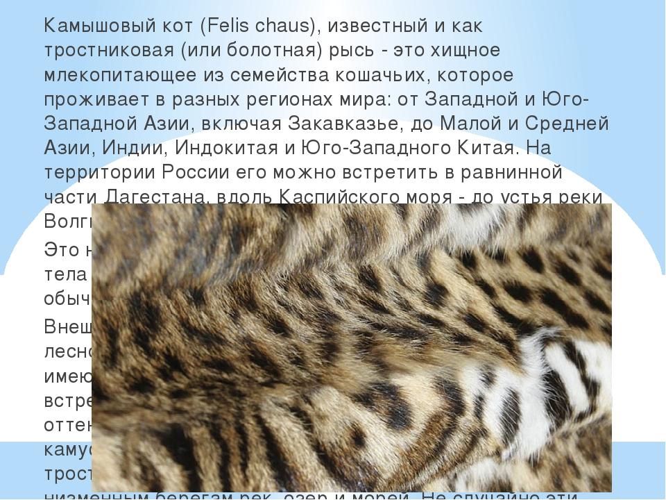Камышовый кот (Felis chaus), известный и как тростниковая (или болотная) рыс...