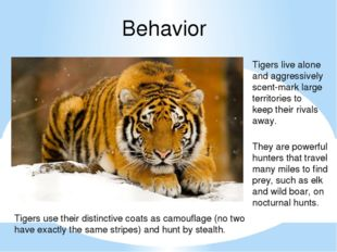 Behavior Tigers live alone and aggressively scent-mark large territories to k