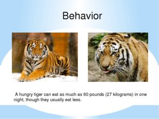 Behavior A hungry tiger can eat as much as 60 pounds (27 kilograms) in one ni