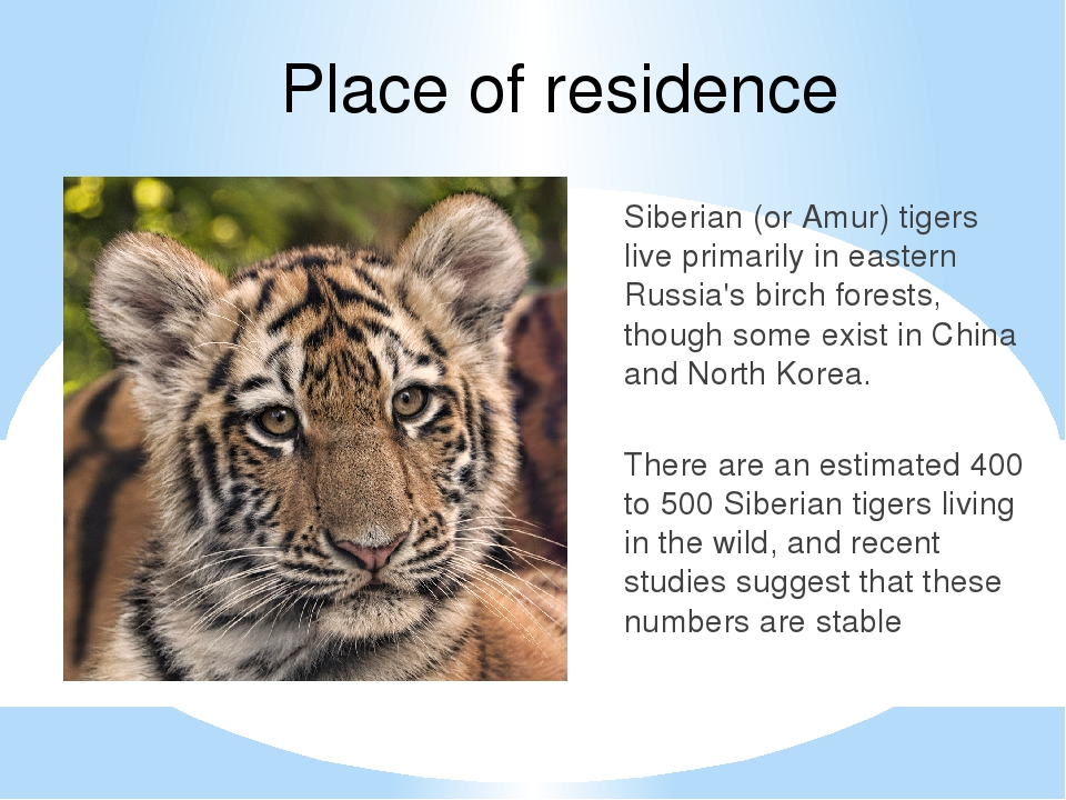 Place of residence Siberian (or Amur) tigers live primarily in eastern Russia...