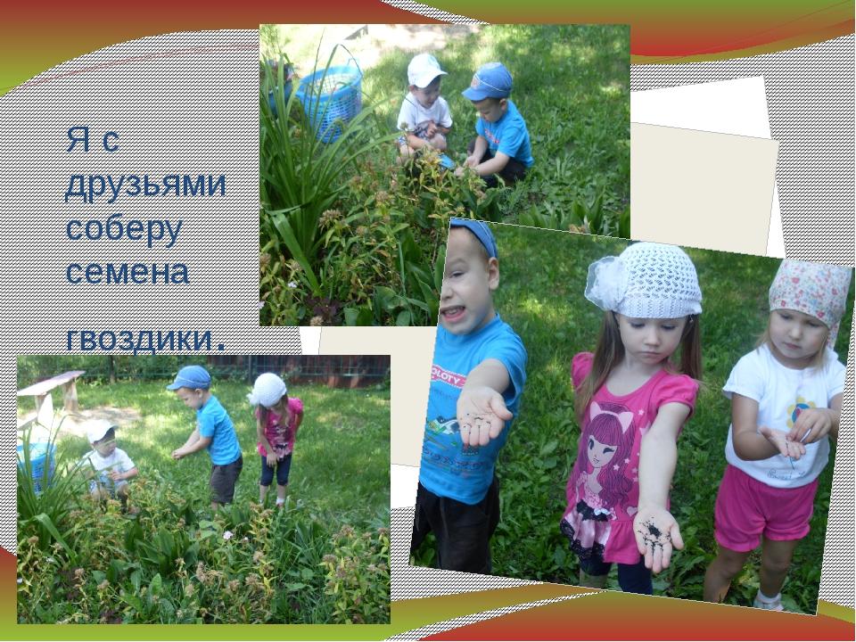 Я с друзьями соберу семена гвоздики.