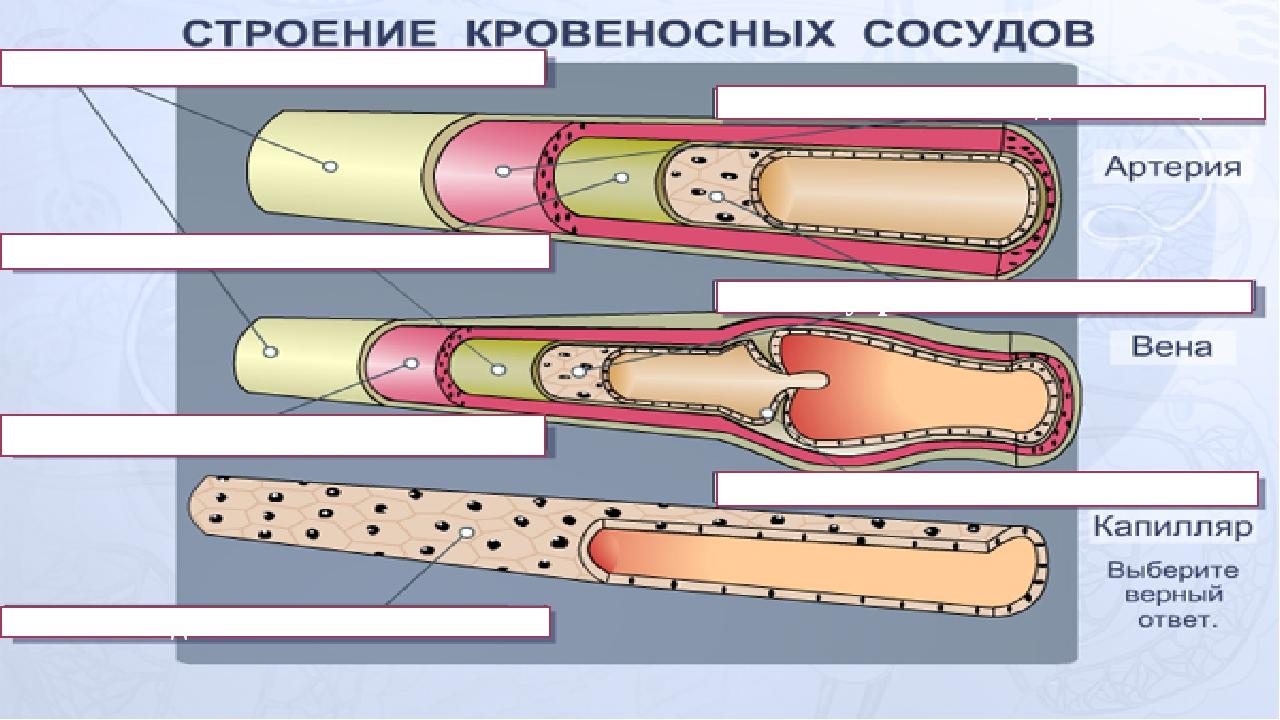 Наружный слой соединительной ткани Эластичные волокна Тонкий слой гладких мы...