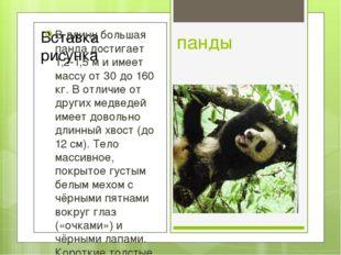 панды В длину большая панда достигает 1,2-1,5 м и имеет массу от 30 до 160 кг