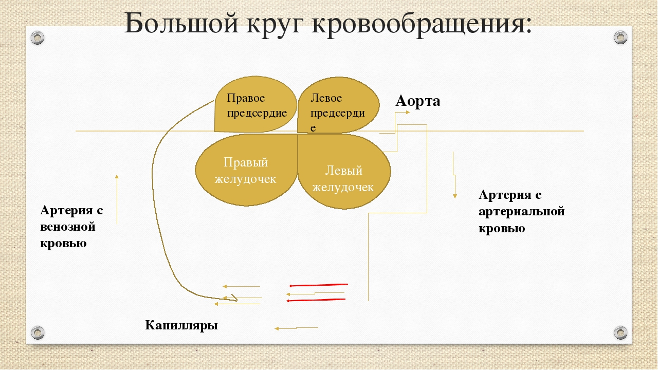 Большой круг кровообращения: Правый желудочек Левый желудочек Правое предсерд...