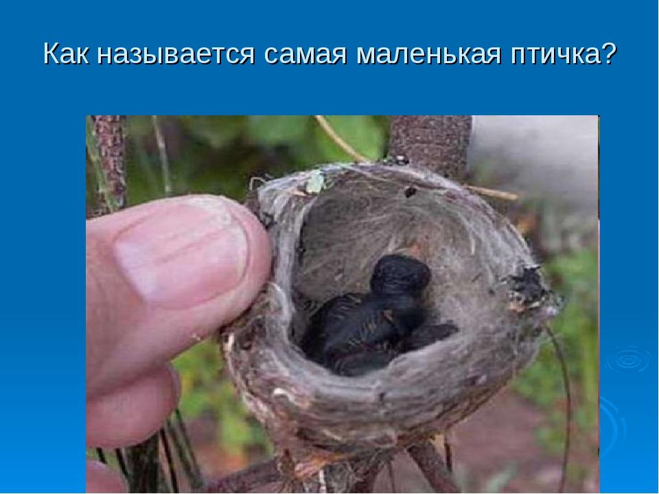 Как называются самые маленькие в мире птички