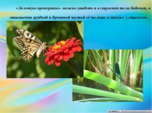 «Золотую пропорцию» можно увидеть и в строении тела бабочки, в отношении груд