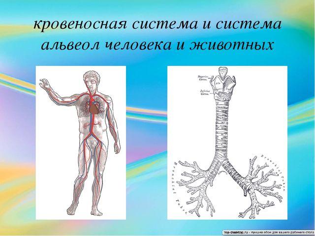 кровеносная система и система альвеол человека и животных