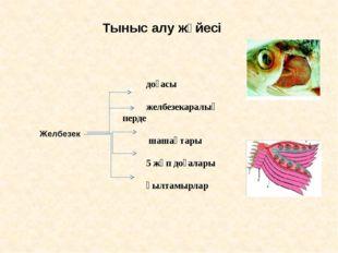 Тыныс алу жүйесі  доғасы желбезекаралық перде шашақтары 5 жұп доғалары қылта
