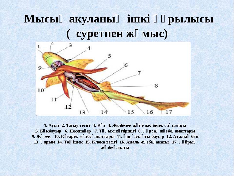 Мысық акуланың ішкі құрылысы ( суретпен жұмыс) 1. Ауыз 2. Танау тесігі 3. Кө...
