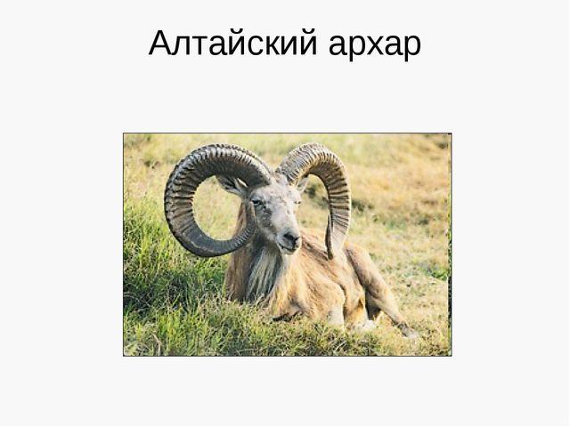 Алтайский архар