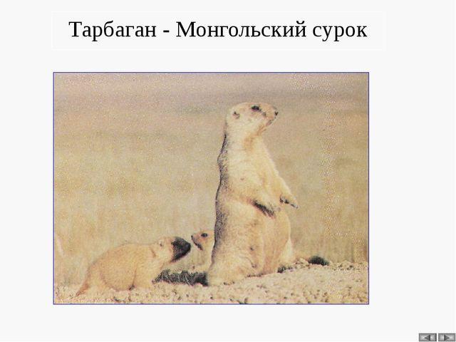 Тарбаган - Монгольский сурок
