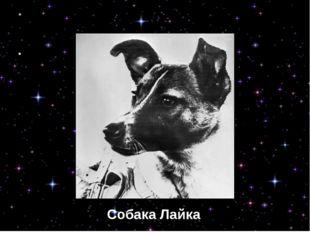 Собака Лайка Собака Лайка
