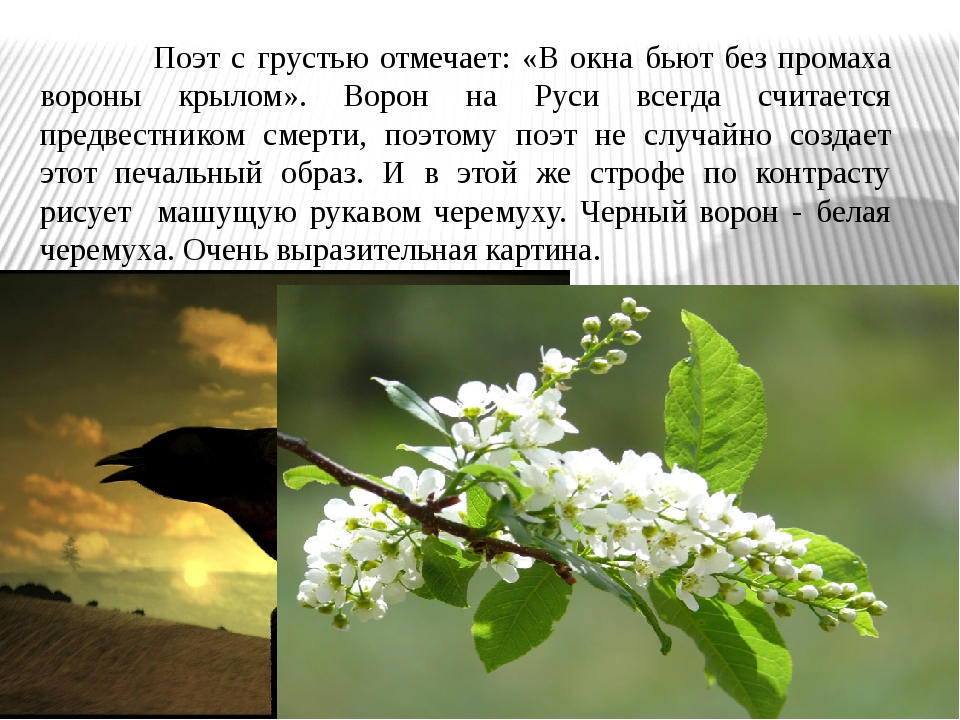 Поэт с грустью отмечает: «В окна бьют без промаха вороны крылом». Ворон на Р...