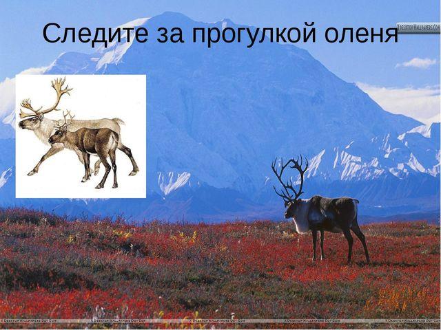 Следите за прогулкой оленя