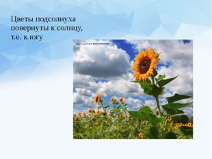 Цветы подсолнуха повернуты к солнцу, т.е. к югу