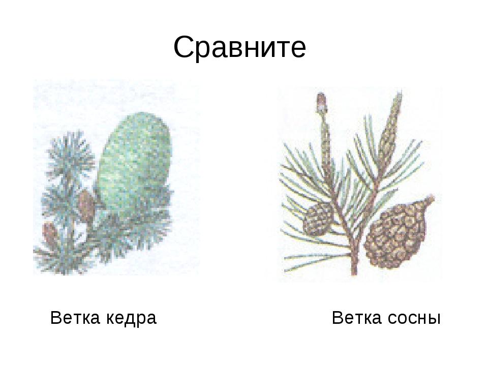 Сравните Ветка кедра Ветка сосны