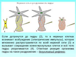 Если дотронутся до гидры (2), то в нервных клетках возникает возбуждение (эле