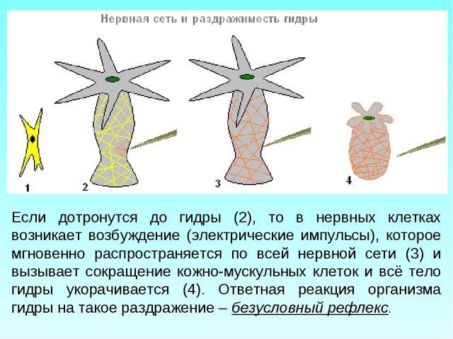 Если дотронутся до гидры (2), то в нервных клетках возникает возбуждение (эле...