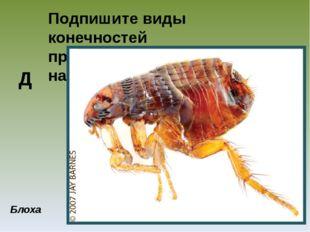 Подпишите виды конечностей представленных насекомых Блоха Д