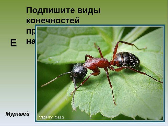 Подпишите виды конечностей представленных насекомых Муравей Е