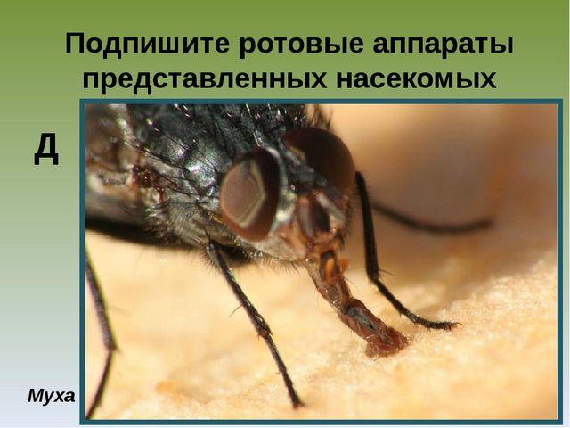 Подпишите ротовые аппараты представленных насекомых Муха Д