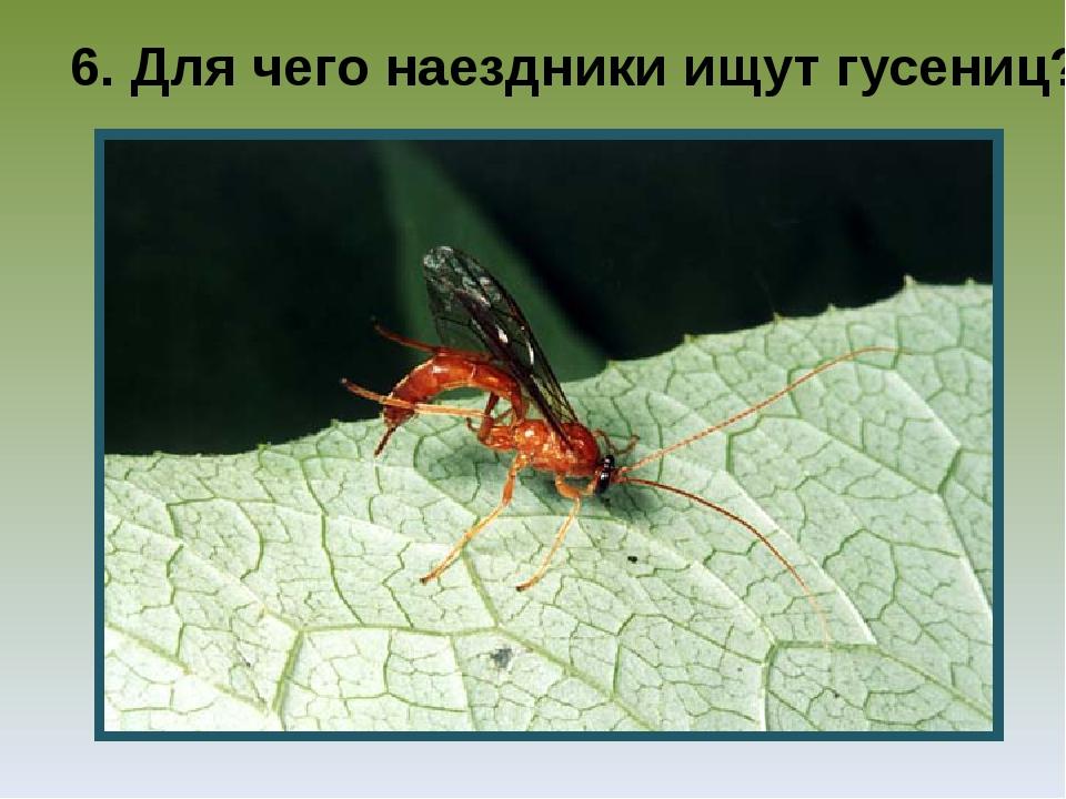 6. Для чего наездники ищут гусениц?