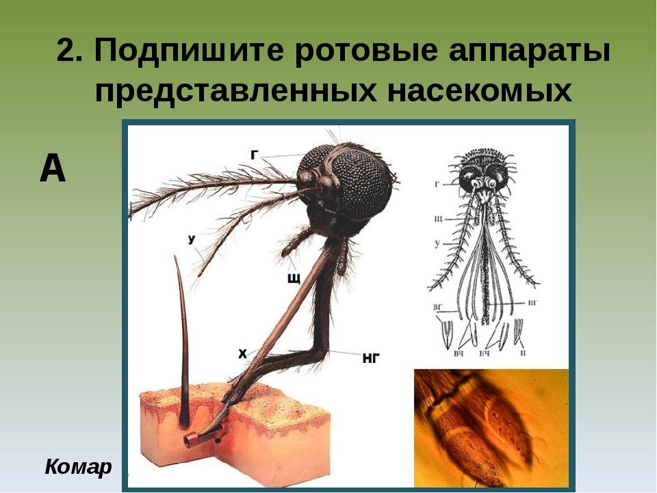 2. Подпишите ротовые аппараты представленных насекомых Комар А