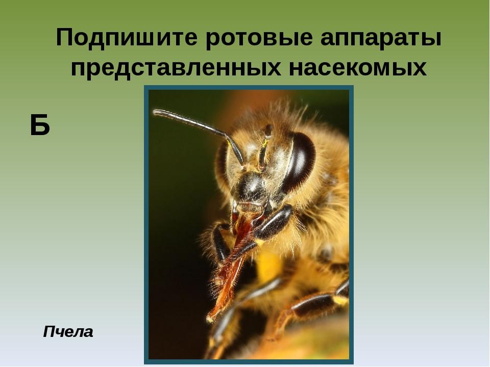 Подпишите ротовые аппараты представленных насекомых Пчела Б