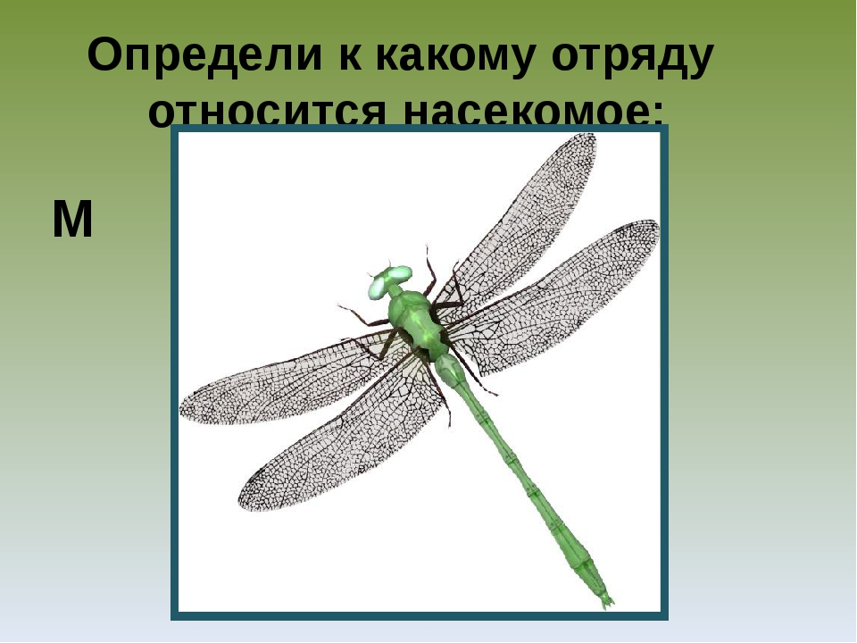Определи к какому отряду относится насекомое: М