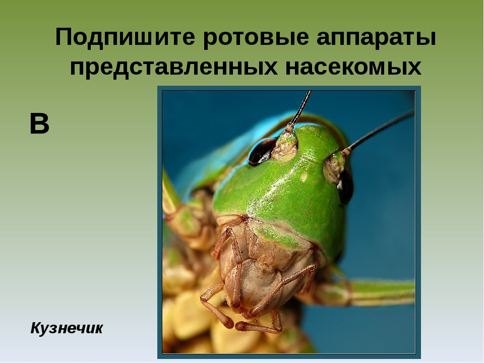 Подпишите ротовые аппараты представленных насекомых Кузнечик В