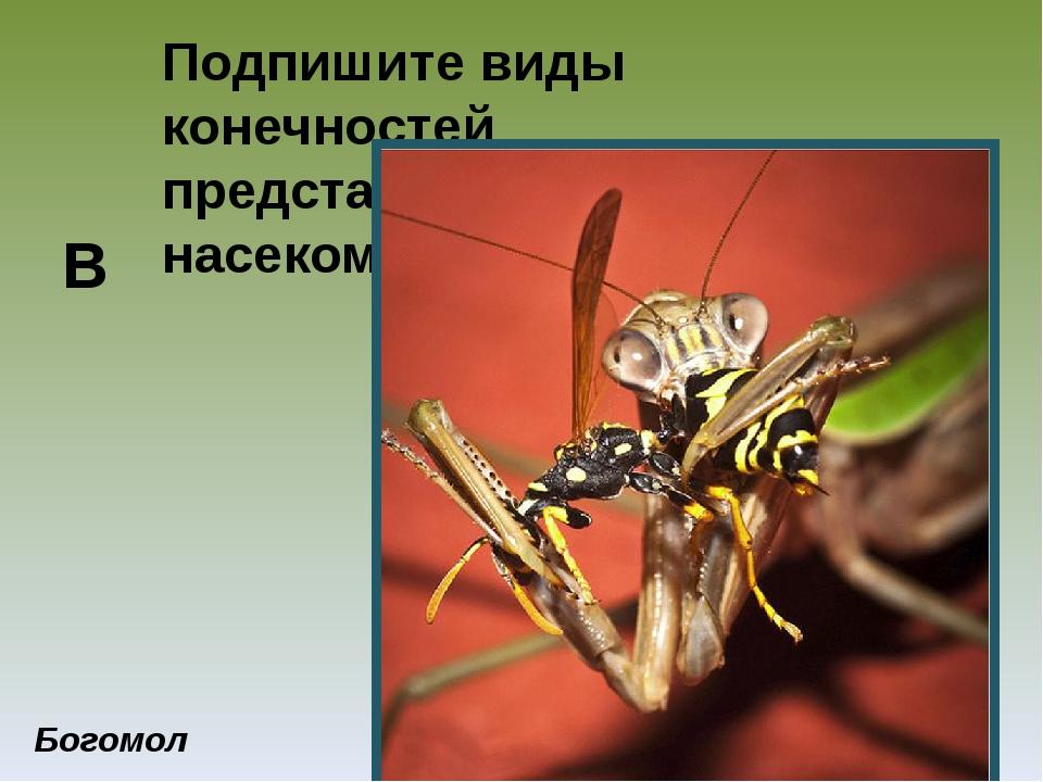 Подпишите виды конечностей представленных насекомых Богомол В