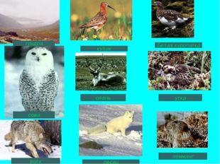 кулик Белая куропатка олень утка лемминг песец волк сова тундра