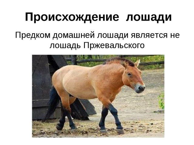 Предком домашней лошади является не лошадь Пржевальского Происхождение лошади