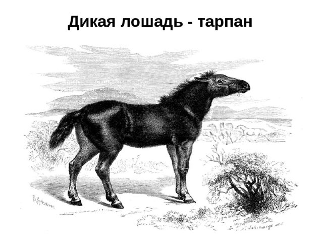 Дикая лошадь - тарпан