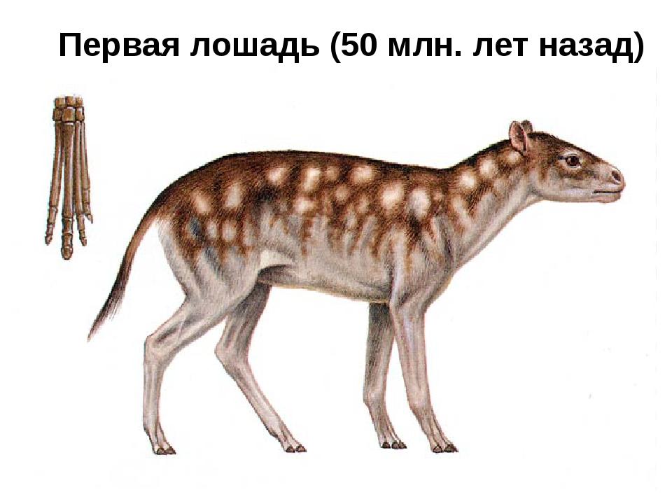 Первая лошадь (50 млн. лет назад)