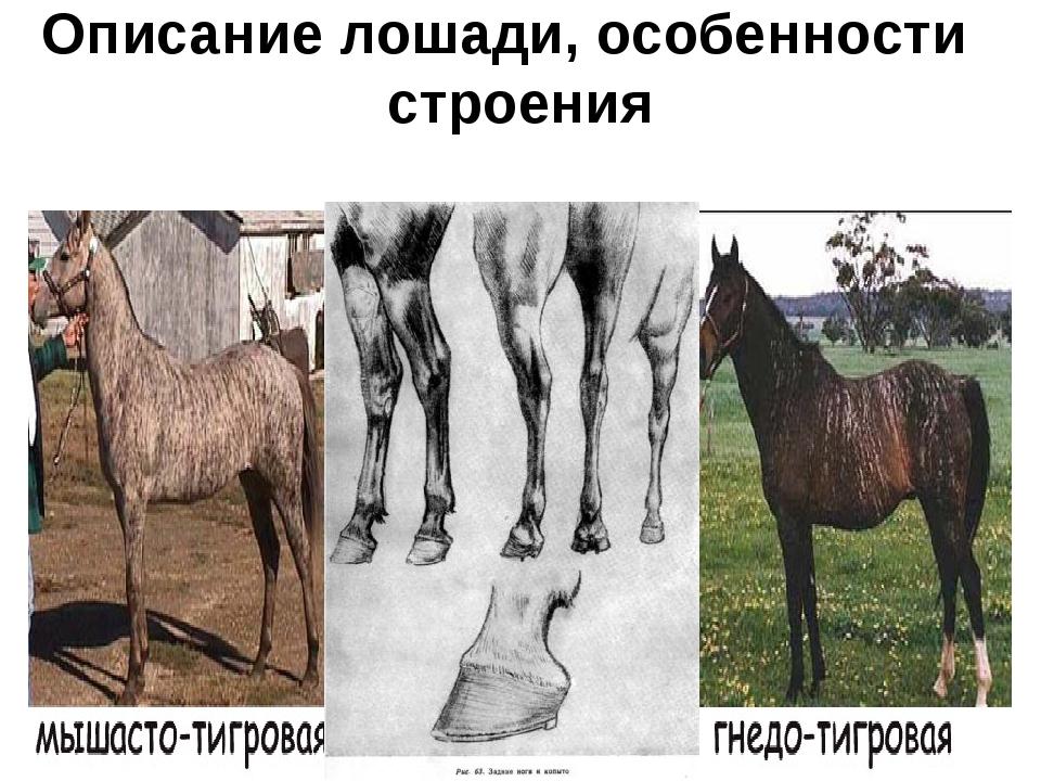 Описание лошади, особенности строения