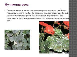 Мучнистая роса По поверхности листа постепенно расползается грибница паразити