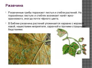 Ржавчина Ржавчинные грибы поражают листья и стебли растений. На поражённых ли